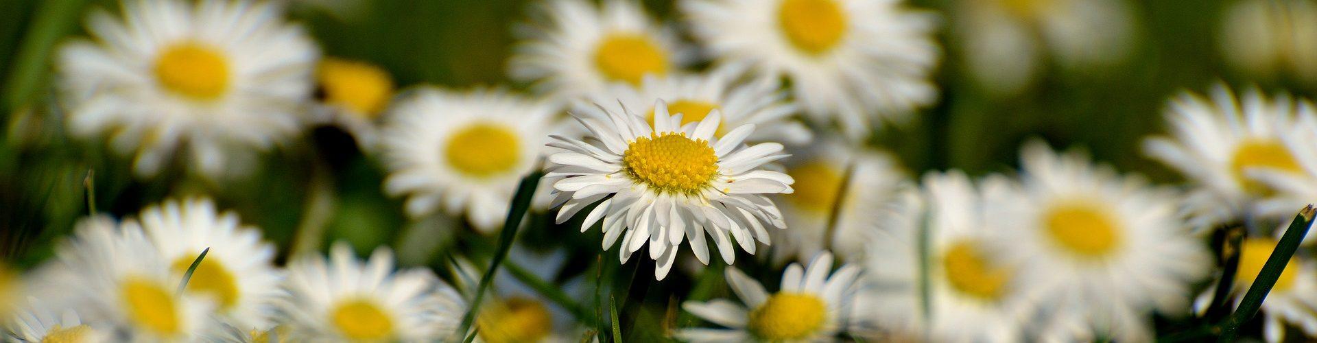 daisy-2288693_1920